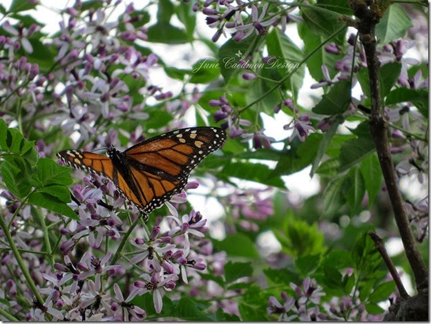 Monarch_Chinaberry