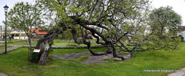 Torekov - The Tree that Sat Down