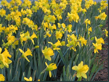 daffodils by Ann Begler