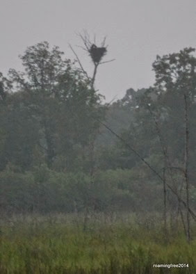 Bald Eagle Nest with two occupants