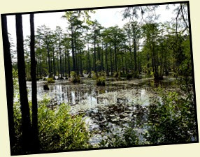 05 - view of Lake Juniper Cypress Swamp
