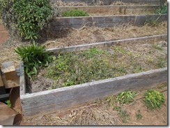 overgrown tomato bed
