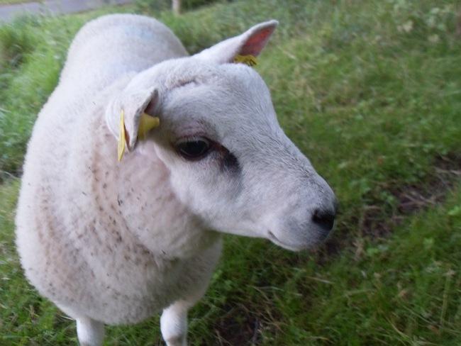 Det lille godtroende lam