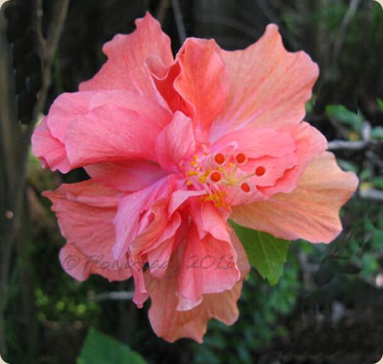 11-24-hibiscus2