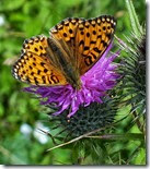 dark green fritillary Anglesey June 2014 (1)