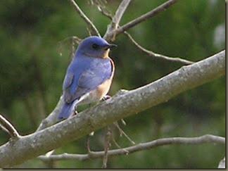 Bluebirds 1-1-2004