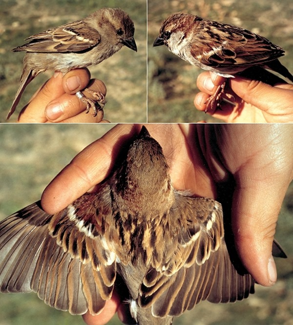 gynandromorph-house-sparrow-tri