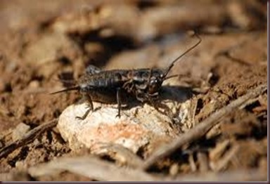 Amazing Pictures of Animals.Cricket (insect) Gryllidae true crickets (8)