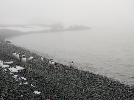 The welcome committee of Gentoo Penguins.