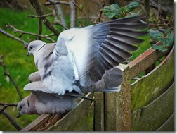 collared doves Feb 2014 (1)
