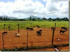 20131009_wild pigs - more pigs than people (Small)
