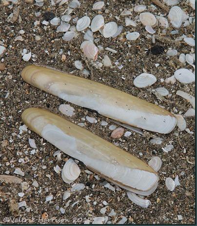 36-razor-shells