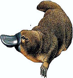Prototheria-Ornithorhyncus-Duck billed platypus