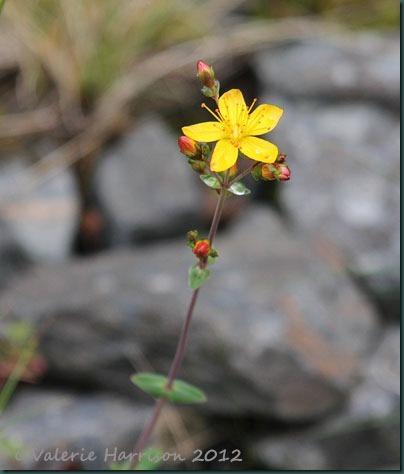 24-Slender-St-John's-wort-(Hypericum-pulchrum)