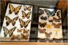 Butterflies  (2)l-1