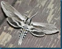 Vashti sphinx moth