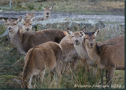 33-red-deer
