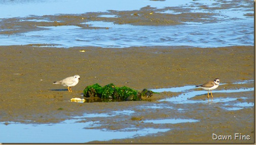 tern island birding_035