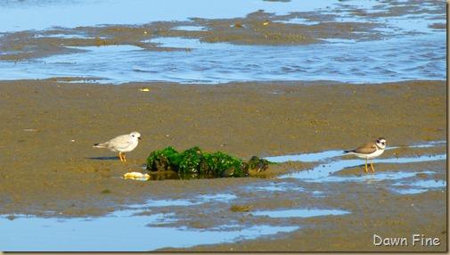 tern island birding_035