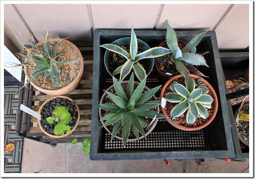 121208_fy_succulents_09
