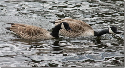 3-canada-geese