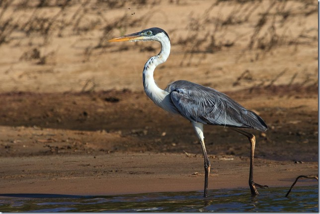 Pantanal_Herons-7