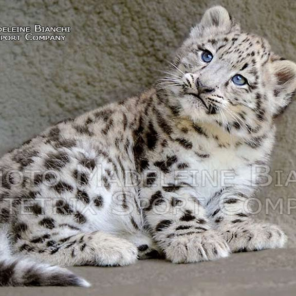 SNOW LEOPARD PHOTO SHOW
