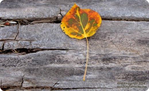 IMG_8073Aspen Leaf