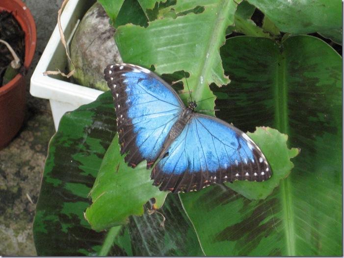 Farfalle 057