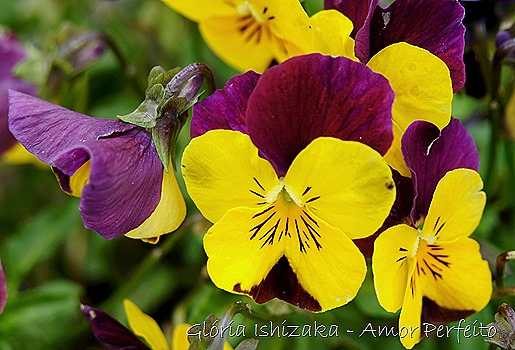 amor perfeito roxo e amarelo - Gloria Ishizaka