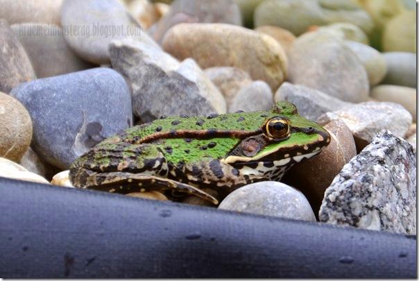 Mitbewohner im Teich {Frösche} (2)