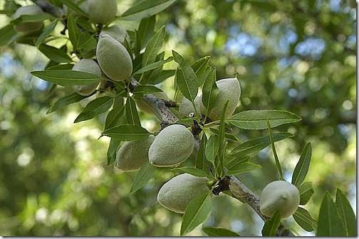 almond-tree-01