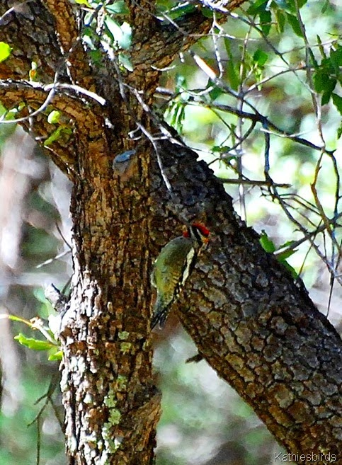 10. Red-naped sapsucker-kab