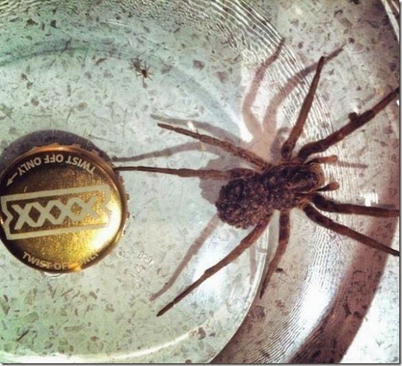 australia-scary-spiders-010