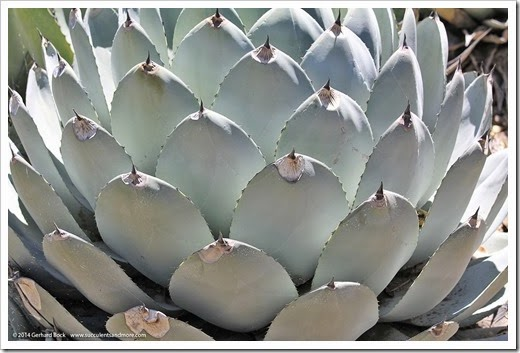 Agave_parryi_spines