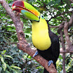 Ramphastos sulfuratus - Discovery Cove