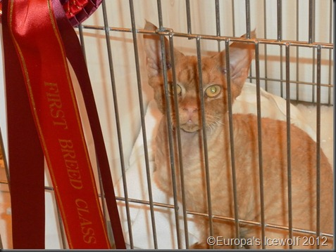 Red Devon Rex