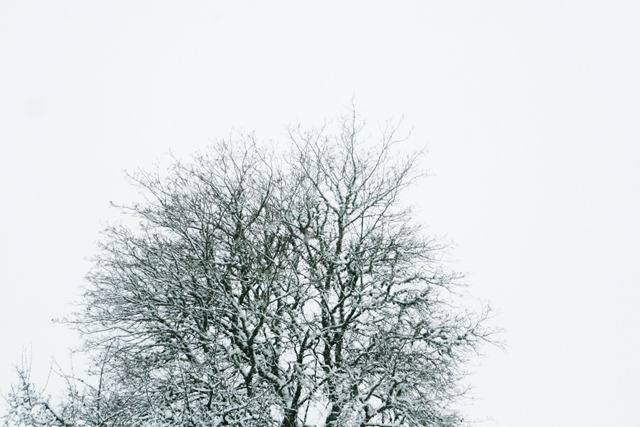 trädkrona