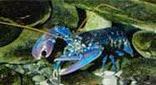 Manche Atlantique grotte du homard homard