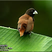 Chestnut Munia-01 .jpg