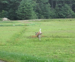 7.26.2012 deer on morse bros bog running away