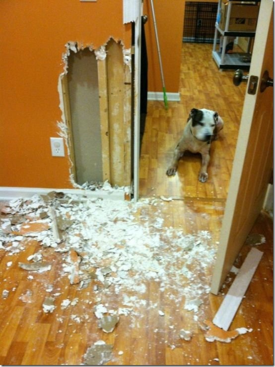 dog-destroys-wall-home-2