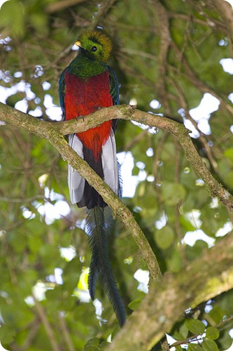 quetzal maschio