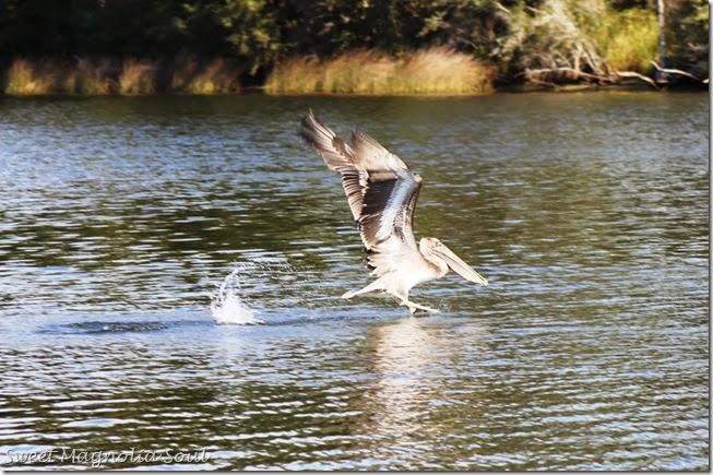 Pelican Wake2