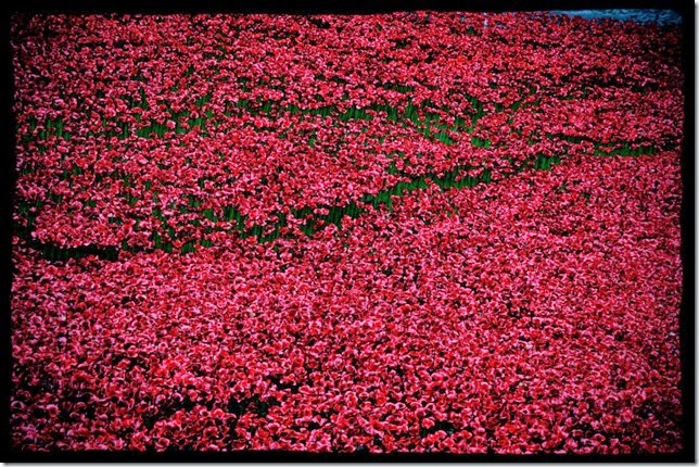 poppies7