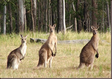 Amazing Animal Pictures Kangaroo (5)