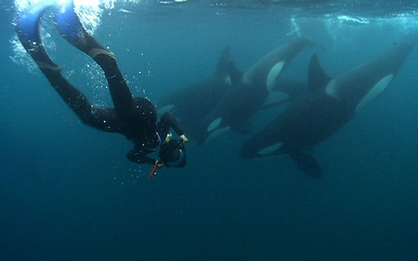 swimming with dangerous orcas