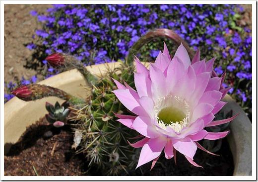 120605_pink-echinopsis_04