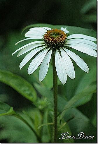 Echinacea2_LuckyStar