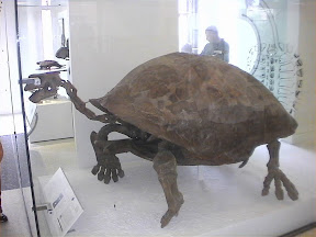 146 - Esqueleto de tortuga en el Museo de Historia Natural.jpg